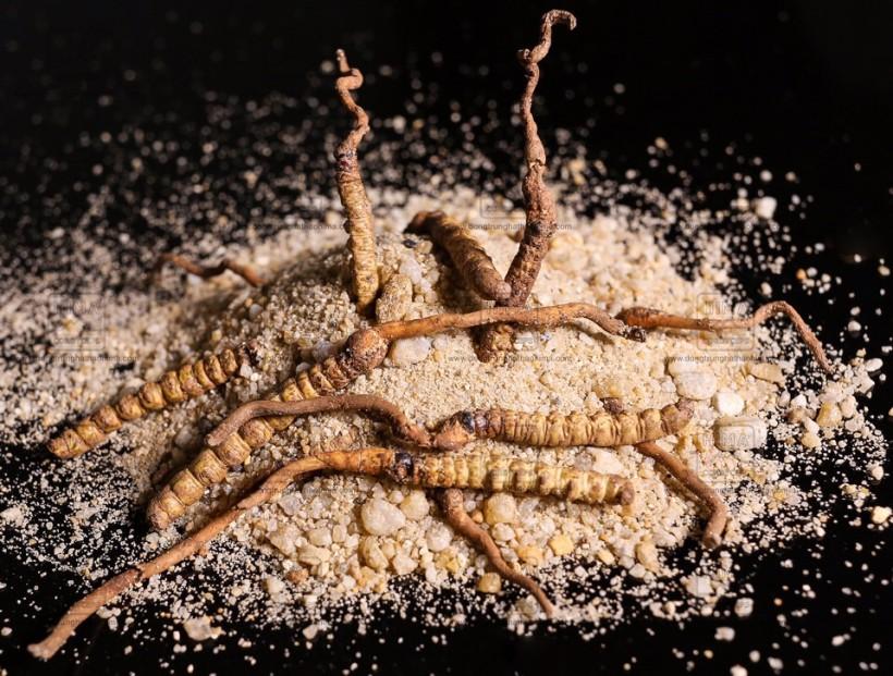 Cordyceps Sinensis HIMA - Tuoi